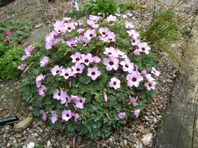 Oxalis in raised bed