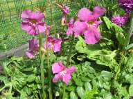 Incarvillea in Asian Bed